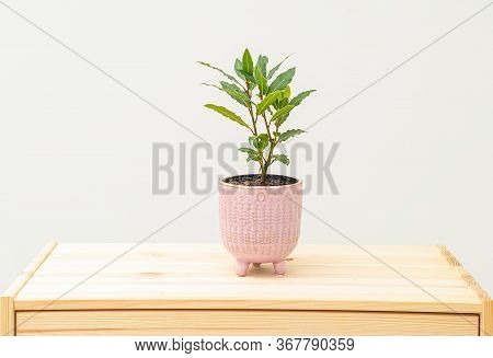 Bay Leaf In A Pink Pot On A Wooden Shelf. Minimalism.  Life Style