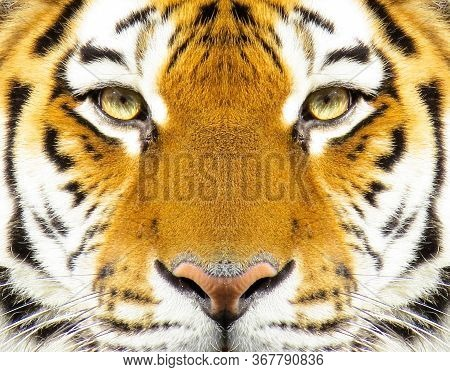 Beautiful Amur Tiger Portrait. Tiger Face. Panthera Tigris Altaica.