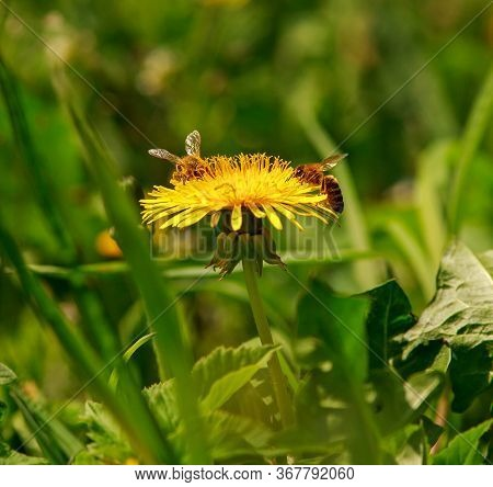 Bee On A Flowering Yellow Dandelion Collects Pollen And Nectar, Natural Product Food From Nature
