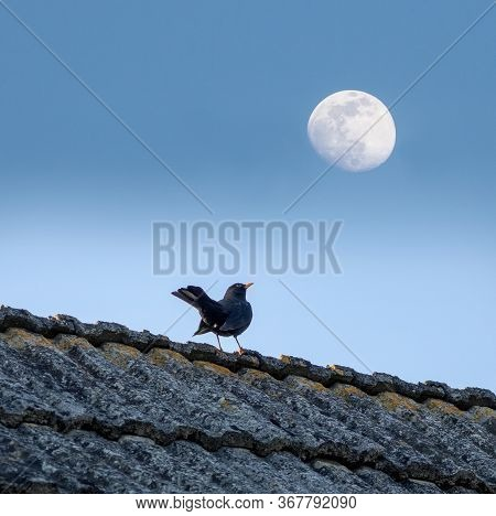 Blackbird Sitting On The Roof Of The House And Looking At The Moon In The Sky, Concept Of Curiosity