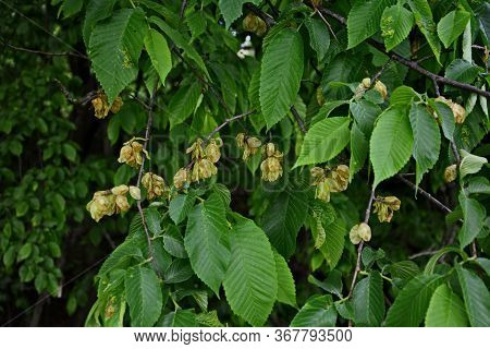 Elm Leaves And Seeds.flowers Of Elms, The Branch Of The Elm With Elm Fruit In The Spring