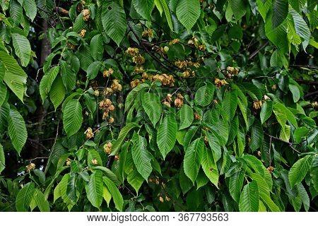 Karagach. Elm Tree, Fruits Of The Elm Tree
