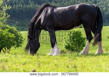 Black Friesian Horse On Clovers Meadow At Summer.