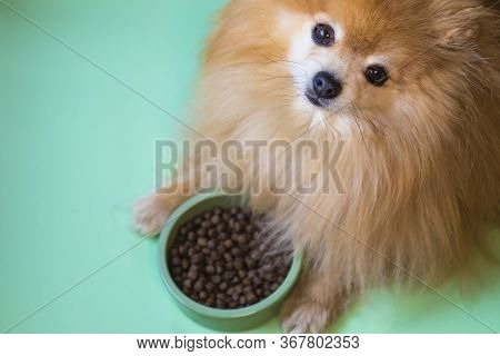 Cute Pomeranian Spitz Is Eating. Pet Dry Food In A Ceramic Green Bowl On Pastel Green Background Wit