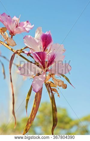 Close Up Of The Flowers Of The White Orchid Tree, Bauhinia Variegata Cv. Candida.