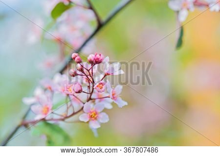 Pink Flowers On The Bush Over Blurred Green Background. Shallow Depth Of Field.