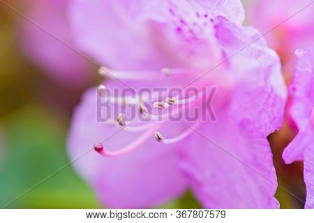Macro Shot Of Fresh Pink Rhododendron Over Blurred Background. Shallow Depth Of Field.