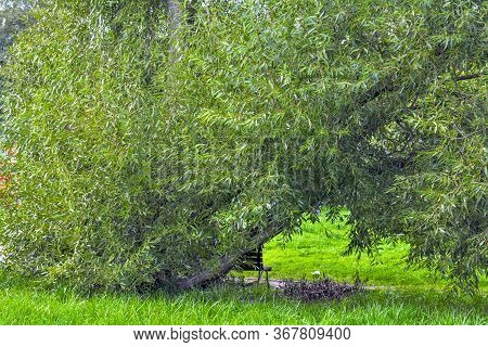 Lush Crown Of Willow Tree. Willow Tree Branches With Young Green Leaves As Nature Background. Salix