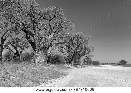 Baines Baobab From Nxai Pan National Park In Black And White, Botswana