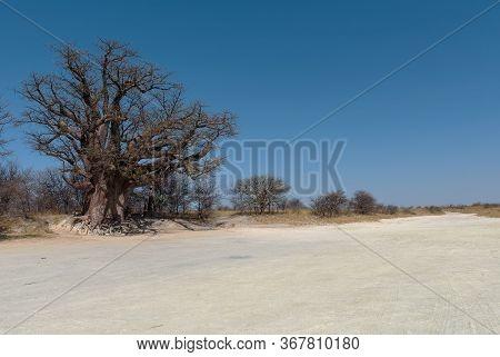 Baines Baobab From Nxai Pan National Park, Botswana