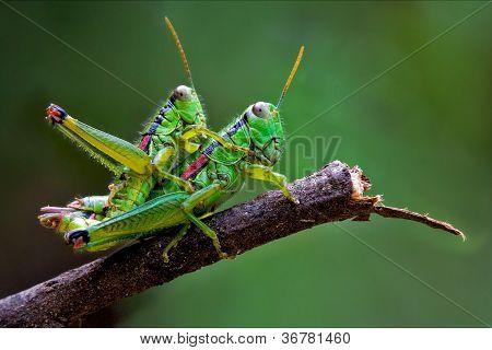 True Love Of Grasshoppers