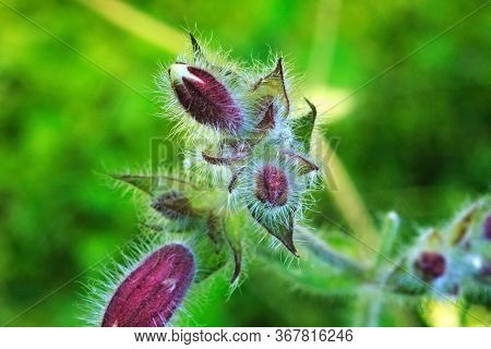 Beautiful Small Fleecy Flowers Photographed In Macro Mode With A Shallow Depth Of Field Effect.