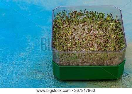 Fresh Sprouts Of Germinated Seeds In A Green Plastic Box On A Wooden Blue Table. Seeds Of Red Cabbag