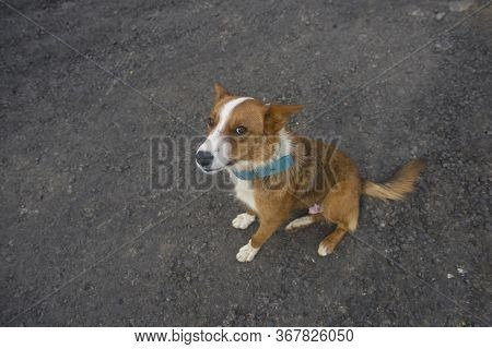 Brown And White Mutt Using A Blue Collar Looking Up A Bit Wary, Seating In The Asphalt Road