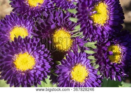 Purple Or Violet Callistephus Chinensis Flower Or Aster Flower In Garden On Flatlay View With Natura