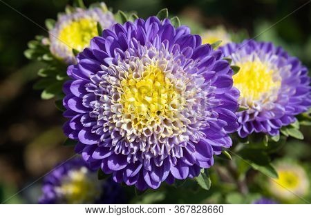 Purple Or Violet Chrysanthemum Or Mums Flowers On Green Leaves Background In Garden With Natural Lig