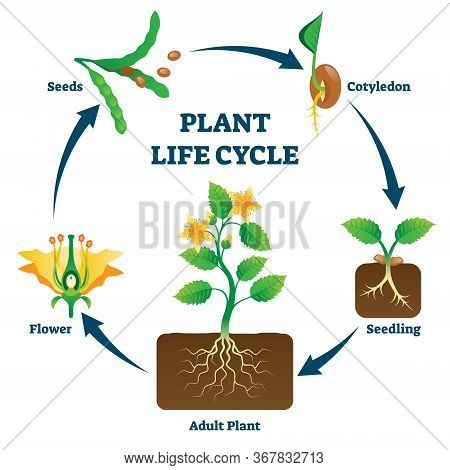 Plant Life Cycle Vector Illustration. Labeled Educational Development Scheme With Seeds, Cotyledon,