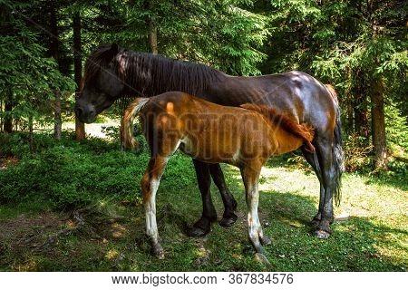 Little Colt Drinking Milk Of Horse Mother In Carpathians