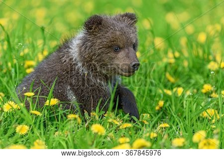 Bear Cub In Spring Grass. Dangerous Small Animal In Nature Meadow With Yellow Flowers. Bear Without