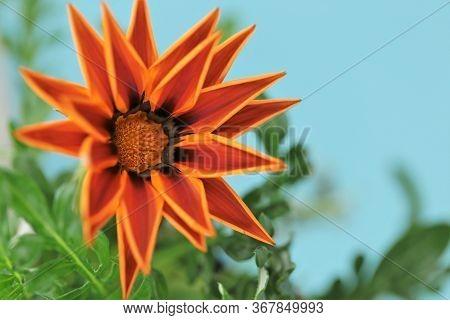 Gazania Plant. Gazania Flower Orange On A Light Blue Background. Summer Flowers.