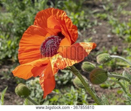 Red Poppy Flower Growing In The Garden