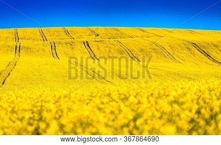 Yellow Rapeseed Field In Bloom And Blue Sky