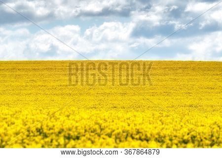 Yellow Rapeseed Field In Bloom And Blue Sky On Horizon