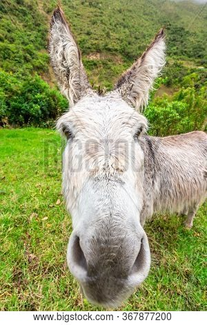 Donkey During Salkantay Trekking In Peru, South America