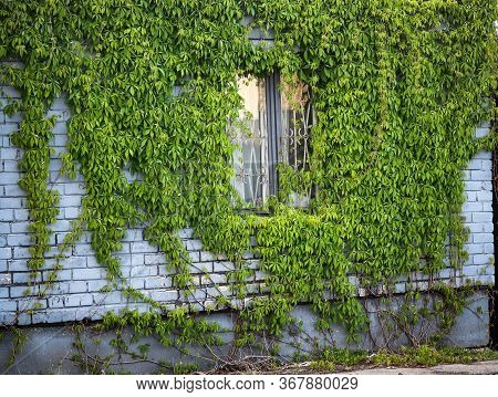 Green Vines Growing On Buiding Gray Brick Wall With Window