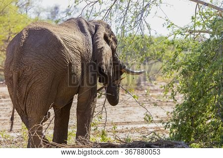 Rear Three-quarter View Of A Solitary Male African Desert Elephant Feeding Beside A Dried River Bed