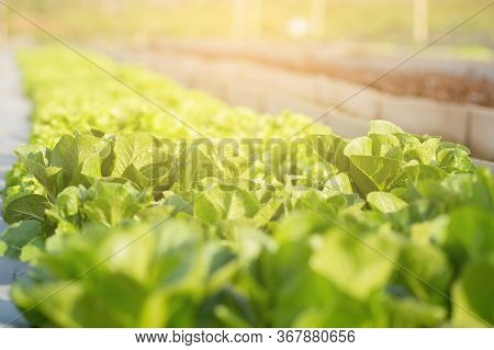 Fresh Sapling Of Green Cos Romaine Lettuce Organic Farm In Plantation, Produce And Cultivation Agri