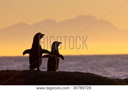 African Penguin Pair At Sunset