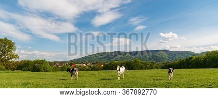 Cows On Meadow With Houses Of Nebory Settlement And Javorovy Hill In Moravskoslezske Beskydy Mountai