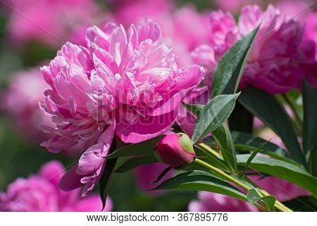 Sprig Of Beautiful Fresh Pion Flowers On Bright Multicolored Floral Background.
