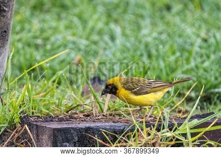 A Male Southern Masked Weaver, Placeus Velatus, Foraging For Food