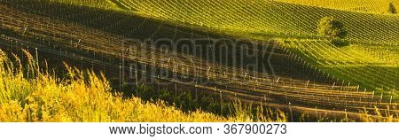 A Beautiful Vineyards Crops At Spring In Austria. Famous Place For Their White Wine. Vineyard Themed
