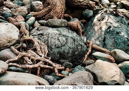 Nature Sunny Background Of Beautiful Roots Of Deciduous Tree On Stony Shore. Tree Grows On Pile Of S