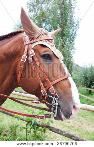 Brown Lusitano Horse