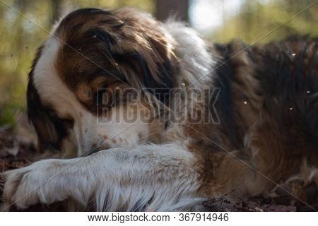 Portrait Big Bernese Mountain Dog. Forest On Background.