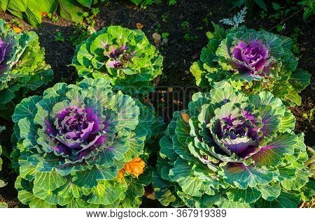 Decorative cabbage, ornamental Kale, in Latin Brassica oleracea var. acephala. Autumn background with decorative cabbage or ornamental kale of green and purple color. Decorative cabbage on the garden bed