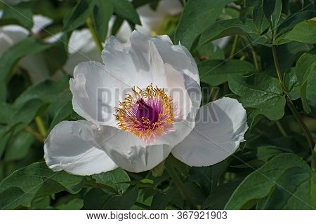 Lonely White Pion Flower On Green Leaves Background Closeup