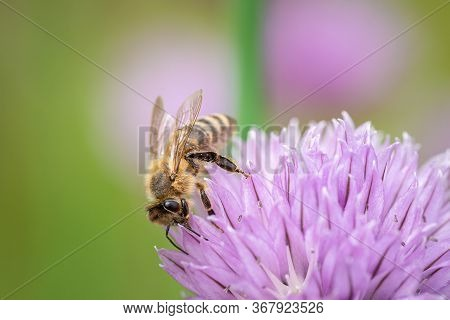 Honey Bee Collecting Nectar From Chives Plant Blossom. Close Up Macro Shot Of A Bee On Purple Flower