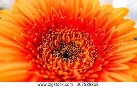 Big Selection Of Colorful Gerbera Flower Gerbera Jamesonii Isolated