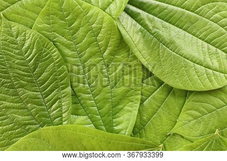 Background With Green Leaves Of Tropical Plant. Bright Green Color To Soothe Eyes And Mind. Tropical