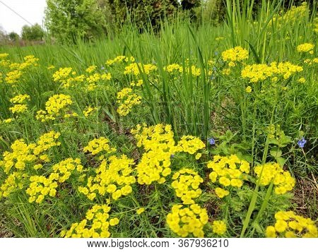 Euphorbia Cyparissias. Plentiful Blossoming Of A Plant. Cypress Spurge Is A Species Of Plant In The