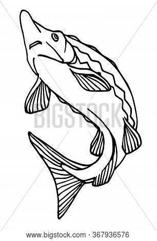 Freshwater Sturgeon, Rare Commercial Fish, Delicious Food, For Logo Or Emblem, Vector Illustration W