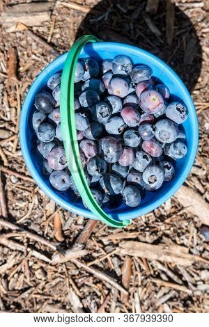 Bucket Filled With Freshly Picked Blueberries At A U-pick Blueberry Farm