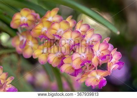 Orchid Flower In Orchid Garden At Winter Or Spring Day. Rhynchostylis Orchidaceae.