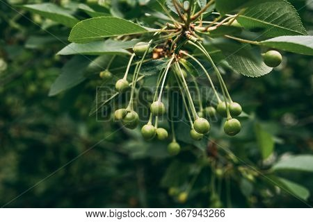 Unripe Green Cherry Fruits Growing On Tree On Blurry Nature Background. Young, Green Cherries On Tre