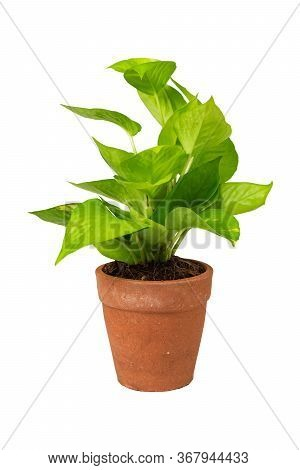 Green Potted Plant, Trees In The Cement Pot With Clipping Path Isolated On White Background.